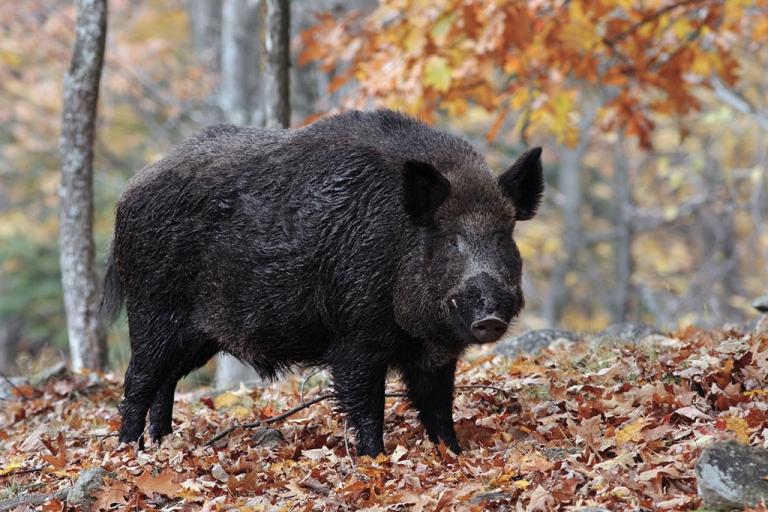 Proceeds of wild boar hunt support elk restoration project