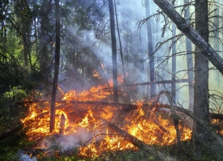 A forest fire ravages an evergreen forest.