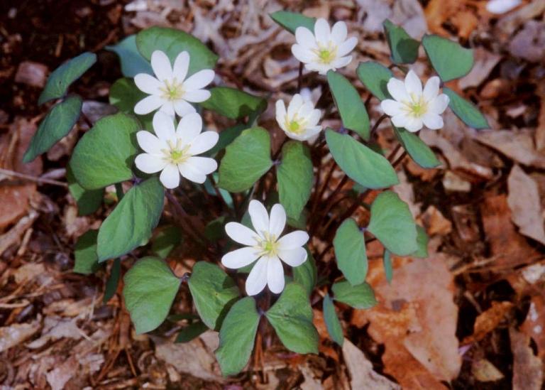 Rare West Virginia wildflower named for Thomas Jefferson