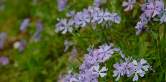 Blue phlox blossom in the New River Gorge National Park and Preserve.