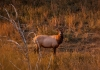 An elk, or wapiti, lingers in an upland field in the Tomblin Wildlife Management Area.